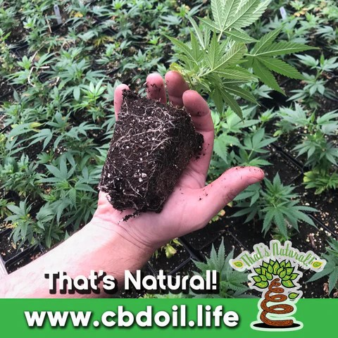 Entourage Effect from That's Natural CBD Oil - full spectrum cannabinoids and terpenes from Colorado hemp - legal in all 50 States - Supercritical CO2 extraction, Pure, Potent, Trusted at cbdoil.life and www.cbdoil.life - Thats Natural topical CBD products, CBD muscle jelly, CBD face lotion, CBD face creme, CBD body lotion, CBD salve, CBD lube - legal hemp CBD at thatsnatural.info
