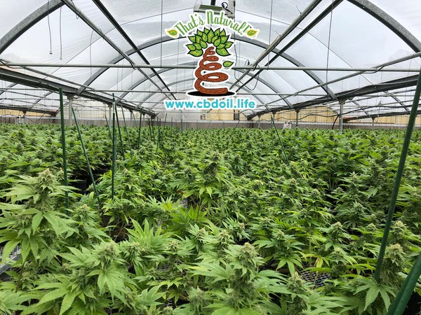 hemp-derived CBD, DHHS - Why does the government have a patent on cannabinoids - Denver Post article on government patent on CBD and Cannabidiol and other cannabinoids - see more research and news from That's Natural at www.cbdoil.life and www.thatsnatural.info