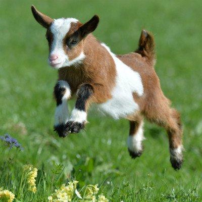 you the goat plush