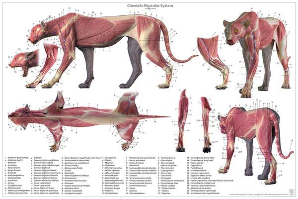 face muscles diagram 2008 jeep grand cherokee stereo wiring cheetah anatomy chart – jun's