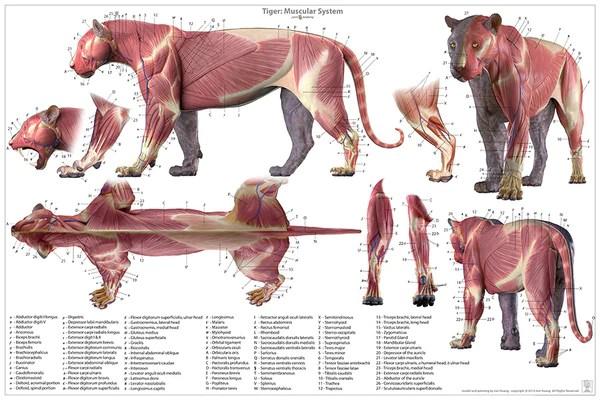 cheetah anatomy diagram 05 ford f150 radio wiring tiger chart – jun's