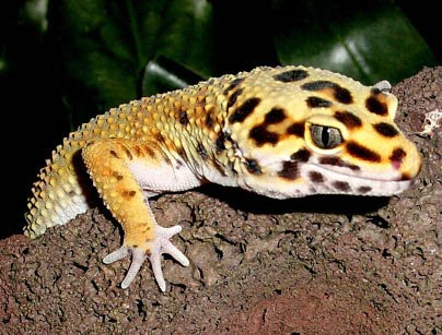 the ultimate leopard gecko