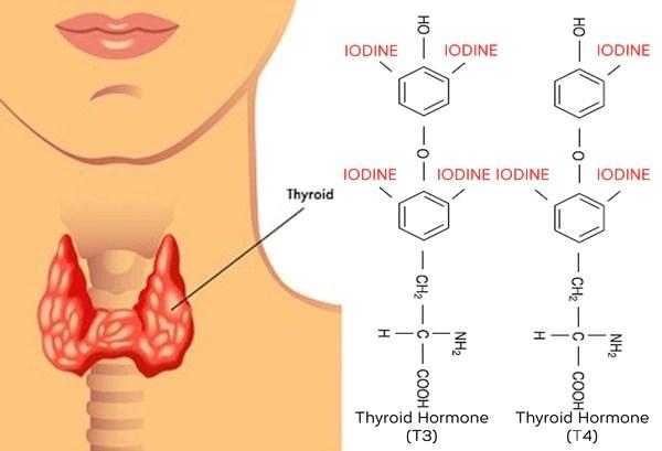 Resultado de imagem para iodine to thyroid hormones