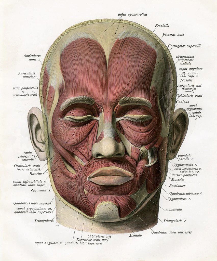 hight resolution of detail of frontal view of the muscles of the human face by corbis
