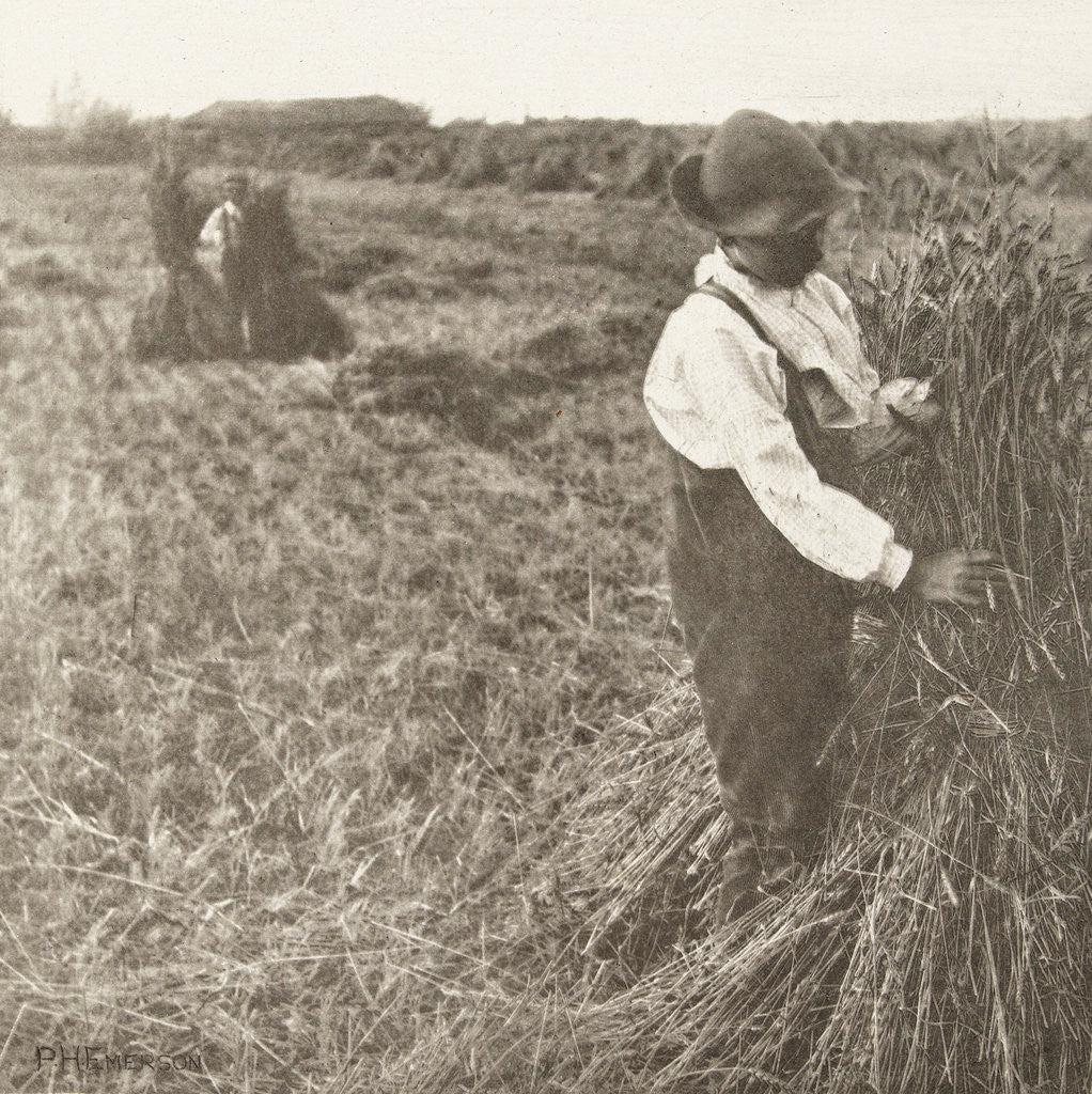 binding wheat sheaves