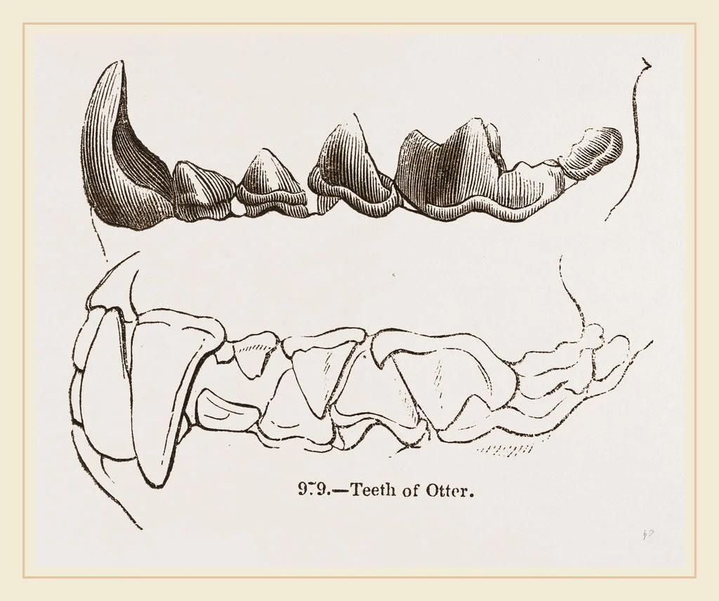 medium resolution of detail of teeth of otter by anonymous