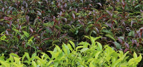Purple Tea Plant