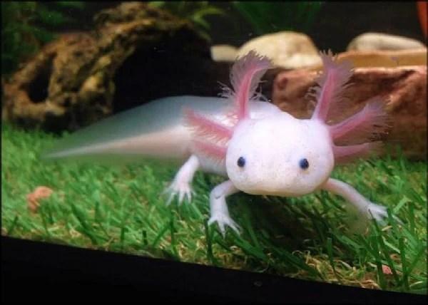 Cute Algae Wallpaper Axolotl Quot Ambystoma Mexicanum Quot 1 Fish 2 Fish Dartmouth