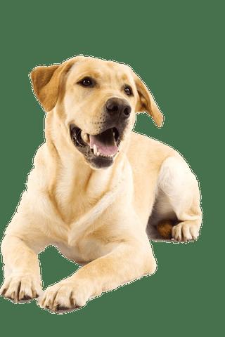 labrador laughing yellow lab