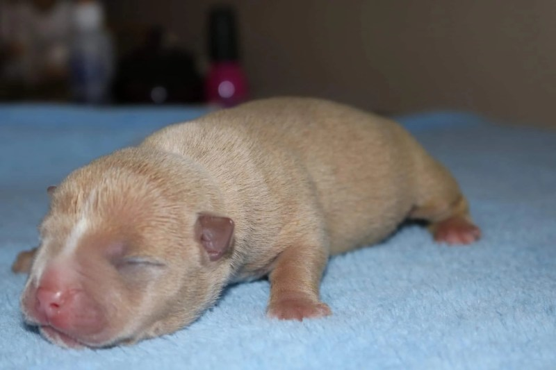 Extreme Pocket Bully Puppies, BEST EXTREME BUILD POCKET BULLY PUPPIES FOR SALE | VENOMLINE, Venomline | Texas Size Bullies
