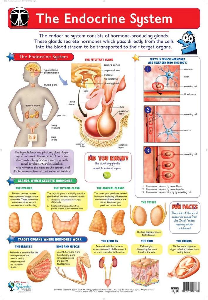 Chart endocrine system also  rutland industries rh