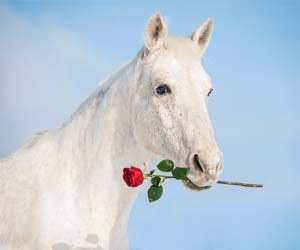 Horse with rose
