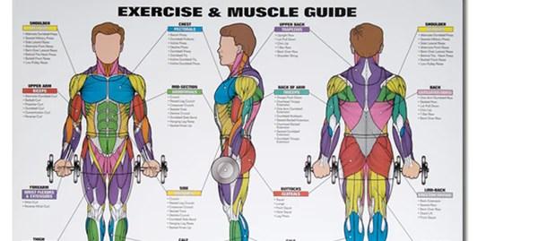 Spri Exercise & Muscle Chart  Body Basics