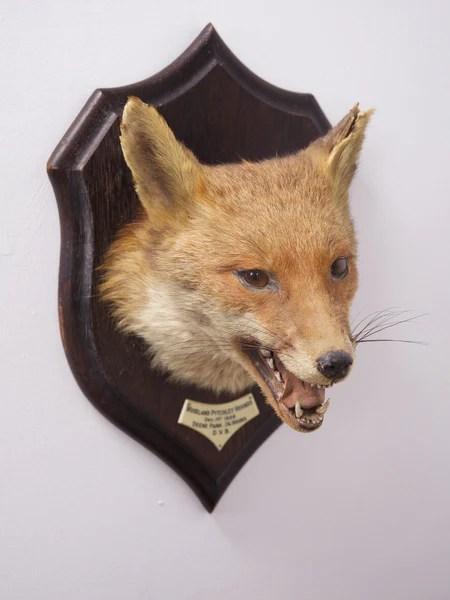 Taxidermy Fox  Drew Pritchard Ltd