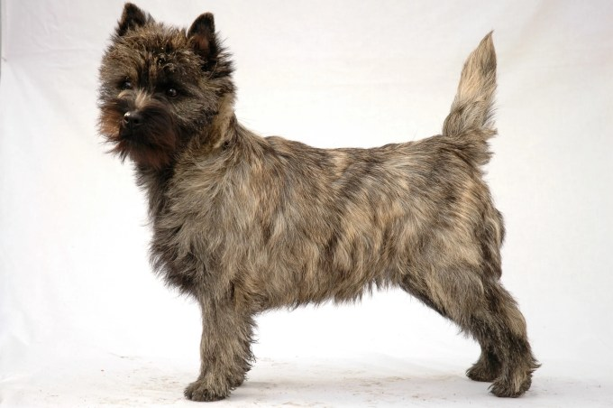 cairn terrier – fun facts and crate size – pet crates direct