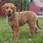 Goldendoodle Fun Facts And Crate Size Pet Crates Direct