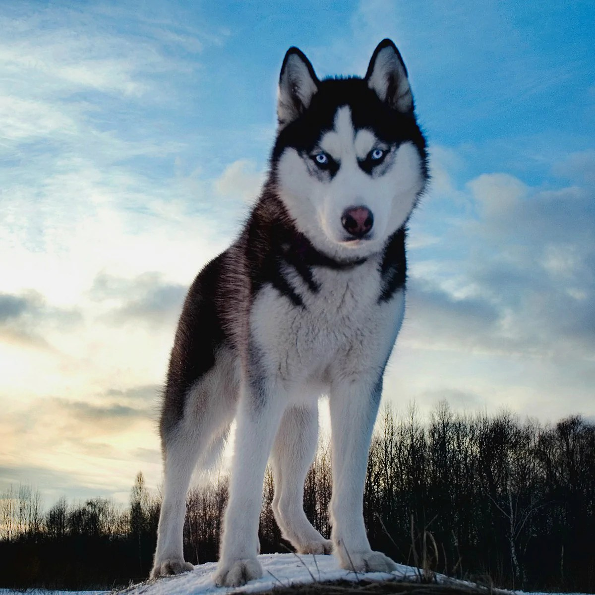siberian huskies fun facts and crate size [ 1200 x 1200 Pixel ]