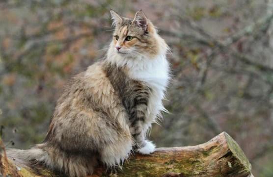 the viking cat norwegian