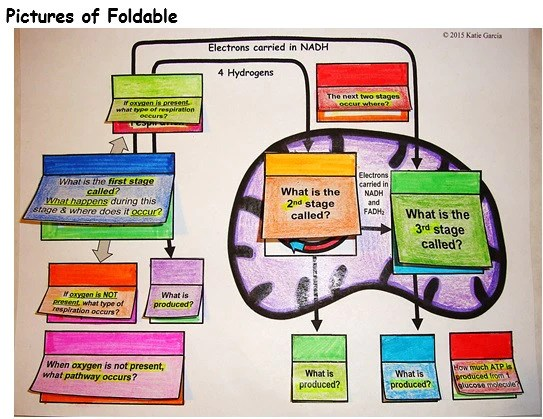 photosynthesis and cellular respiration diagram 87 chevy truck wiring foldable - mitochondrion – mrs. g's classroom