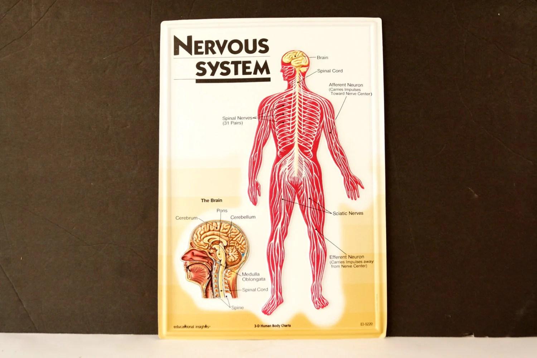 vintage 3d human body chart nervous system human nerve anatomy c 1980s  [ 1500 x 1000 Pixel ]