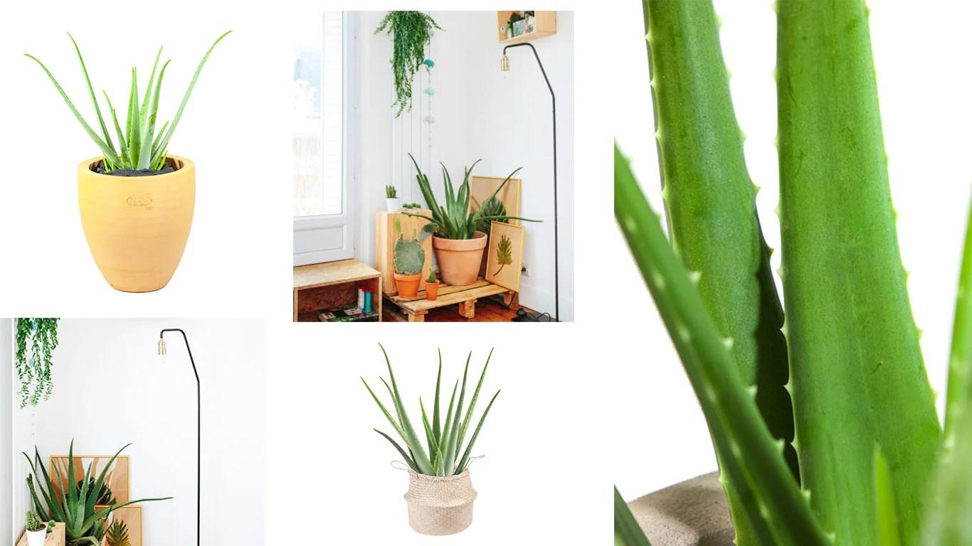 rempoter plante grasse quelles plantes installer dans sa. Black Bedroom Furniture Sets. Home Design Ideas