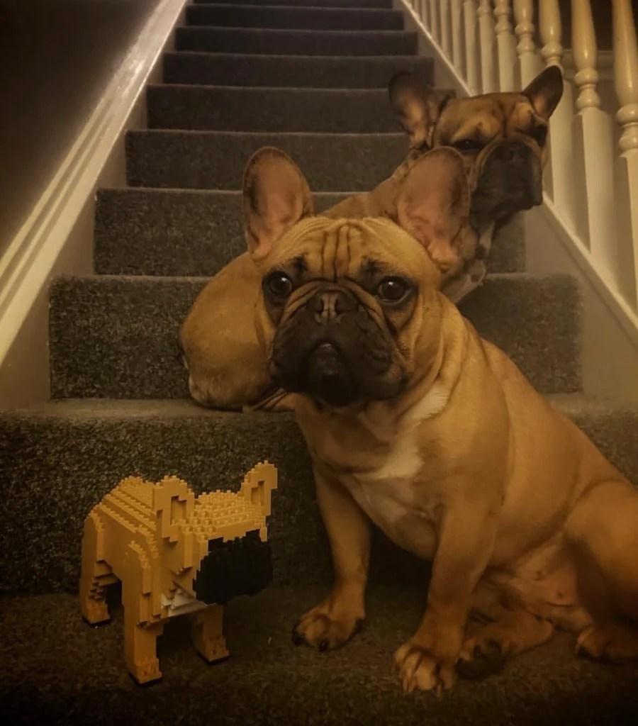 hight resolution of french bulldog jekca