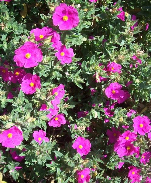 Cistus x pulverulentus Sunset  Ballyrobert Gardens
