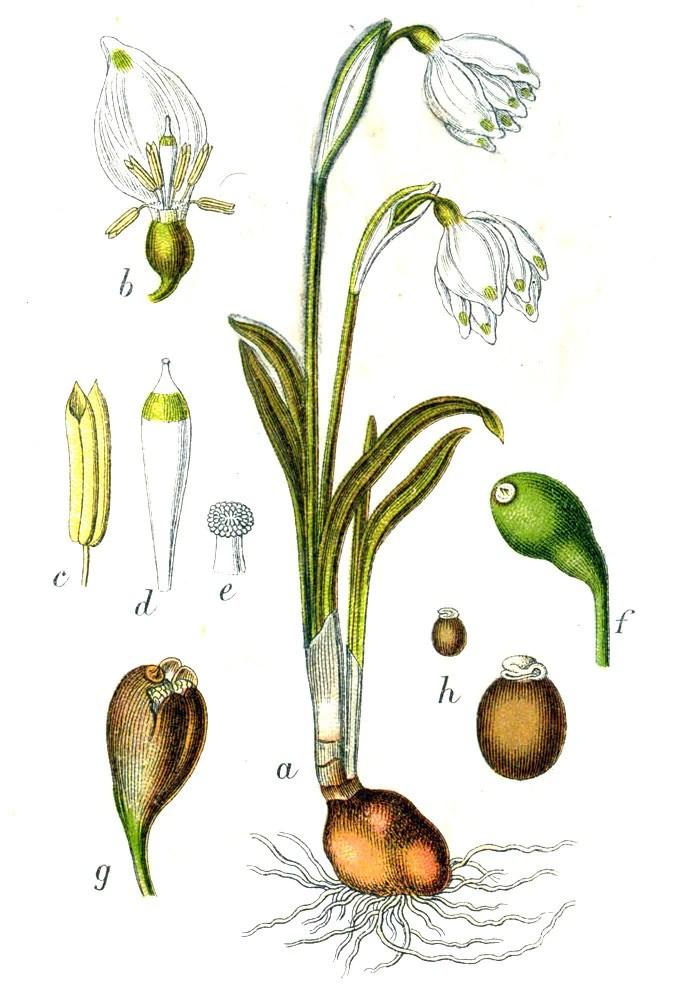 Leucojum vernum  Ballyrobert Gardens