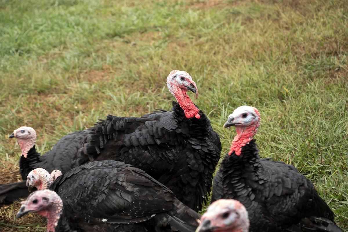 heritage black turkey joyce