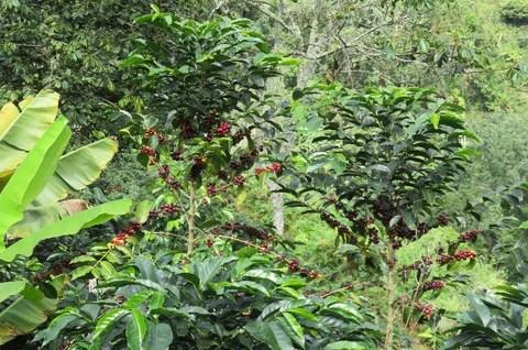 Coffee growing at Finca Rayo el Sol