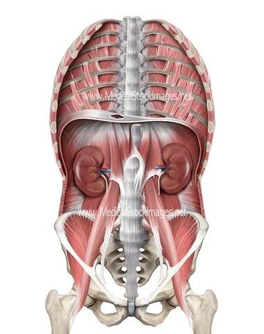 Image of Thoracic Region Diaphragm Pelvis Kidneys ...