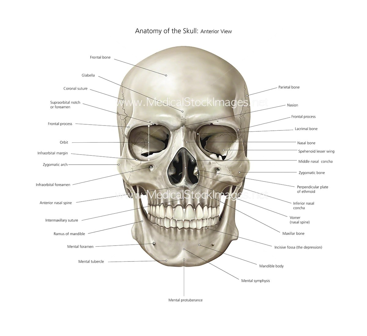 bones of the skull anterior view diagram residential wiring diagrams anatomy illustration labelled