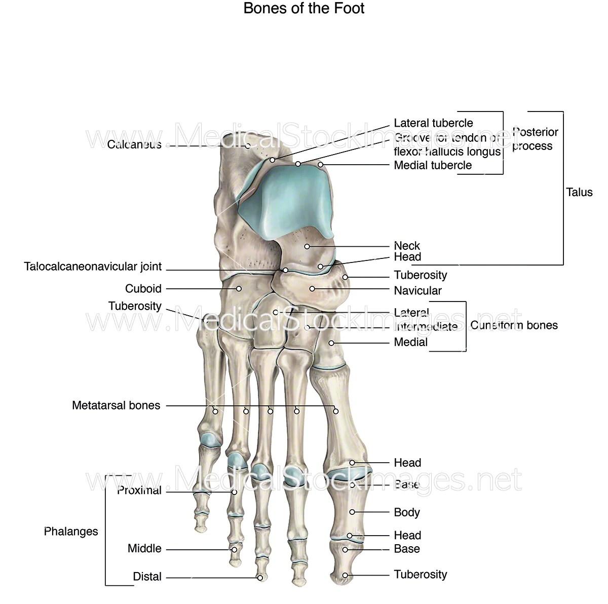 medium resolution of medical diagram of foot