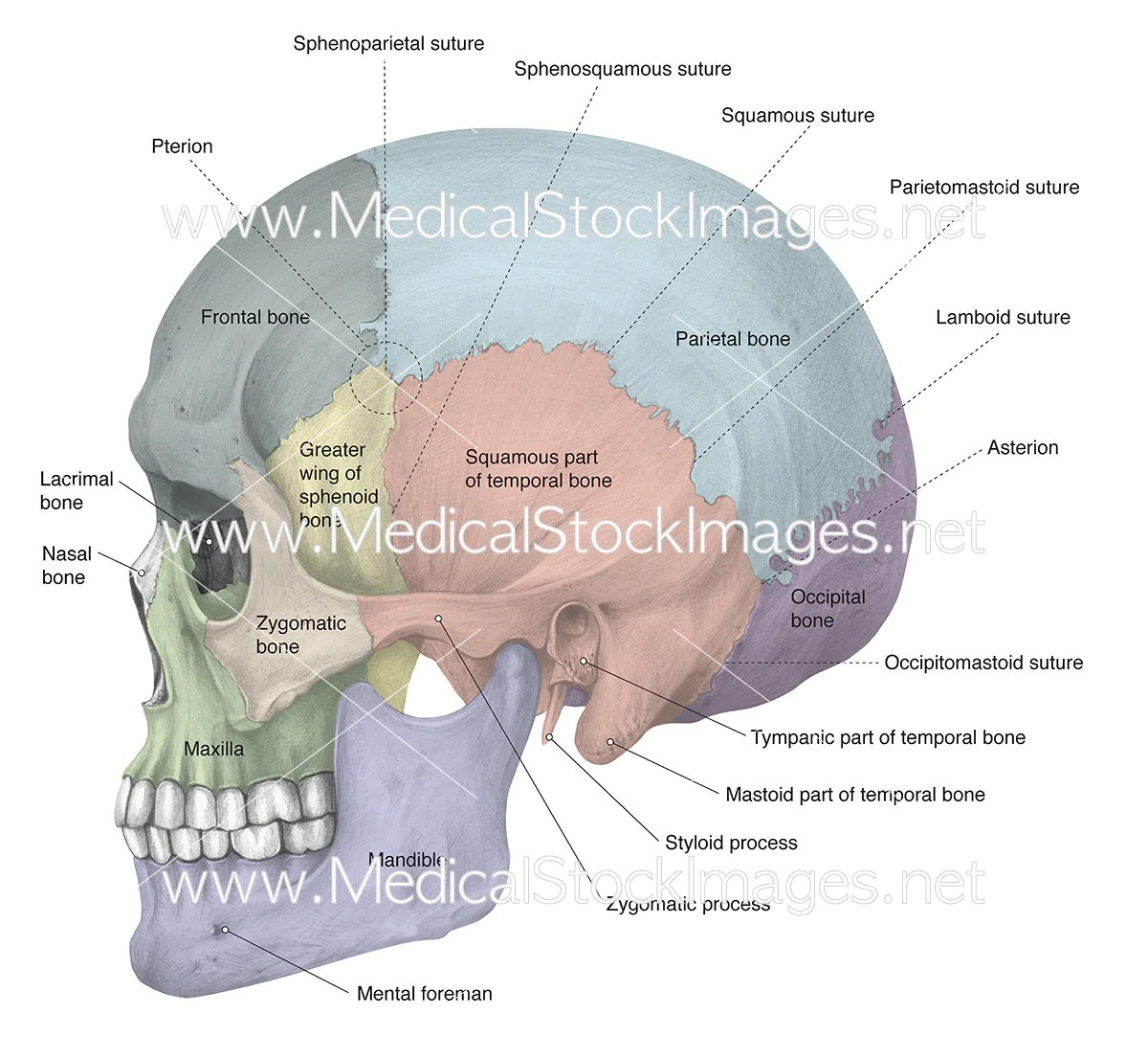 lateral view skull sutures diagram pioneer deh 2200ub wiring labelled  medical stock images company