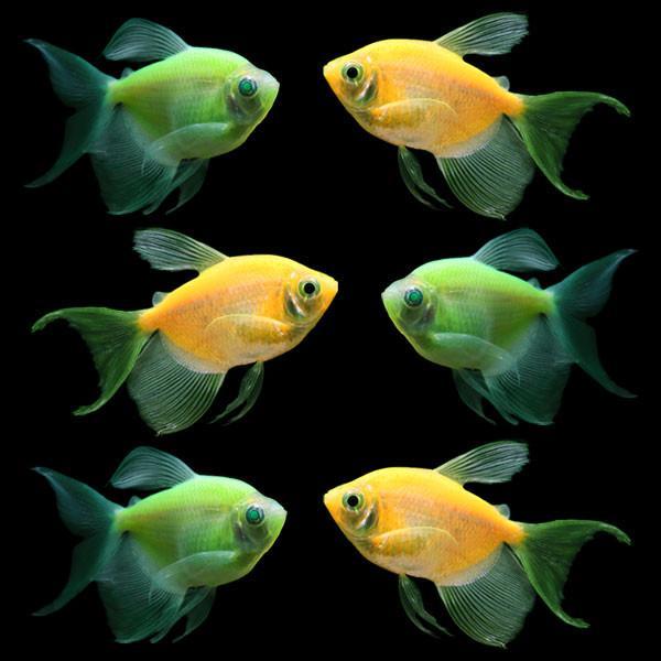 glofish long fin collection
