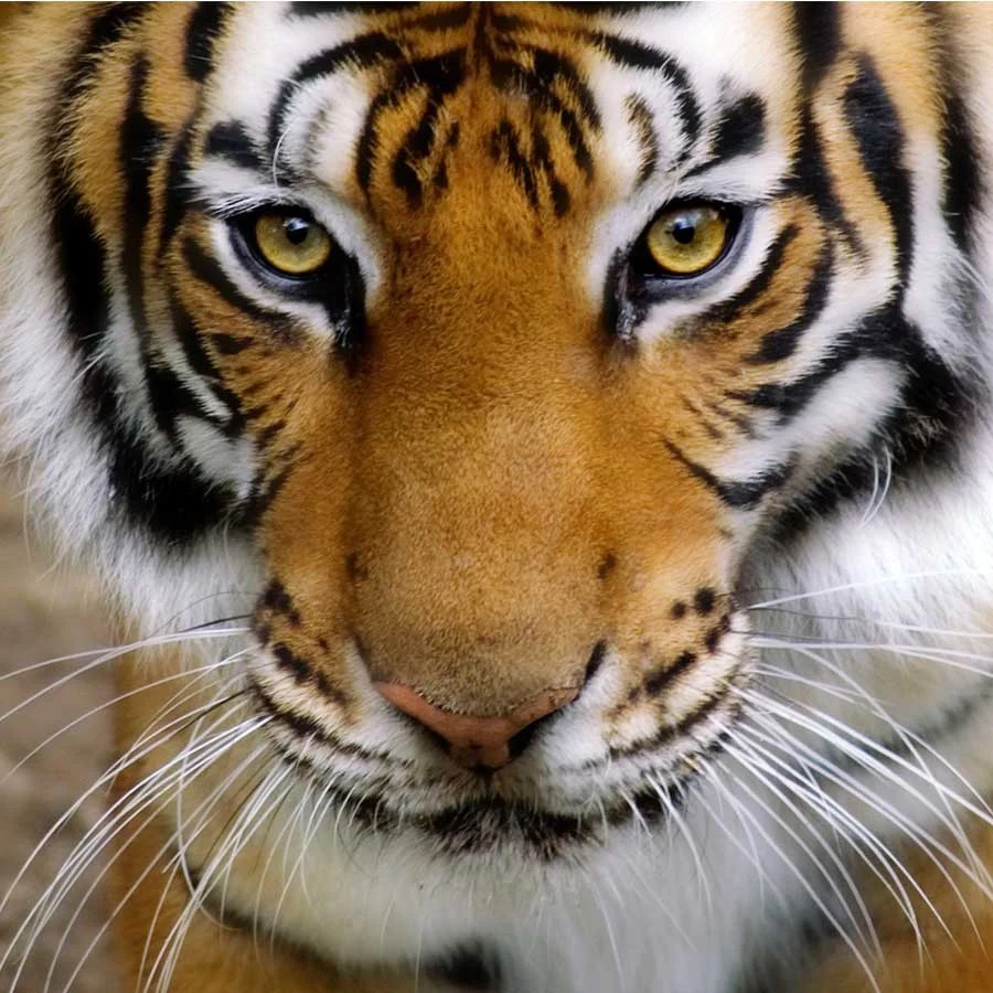 close up of tigers