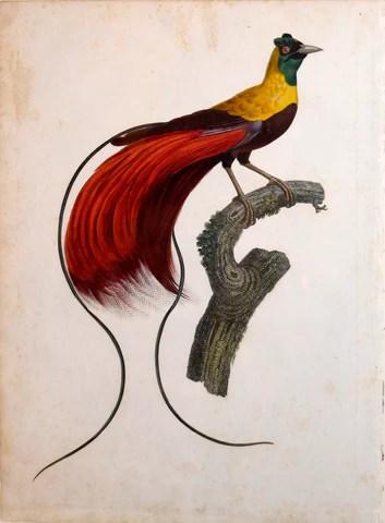 Oiseau De Paradis Animal : oiseau, paradis, animal, Jacques, Barraband, (1767-1809),, L'Oiseau, Paradis, Rouge, Arader, Galleries