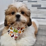 Reserved Lucas Male Pre Trained Imperial Shih Tzu Puppy