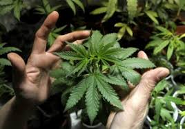 Cannabis Nootropic