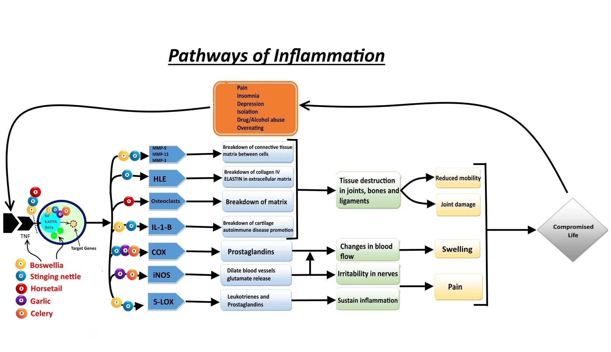 hight resolution of mechanisms of anti inflammatory action