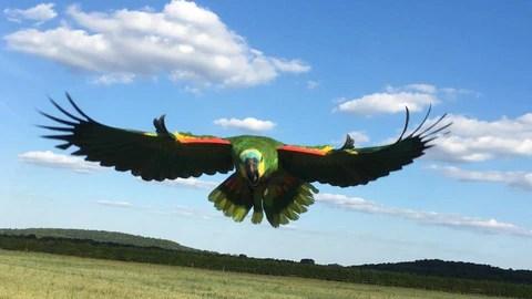 flight training clipped birds