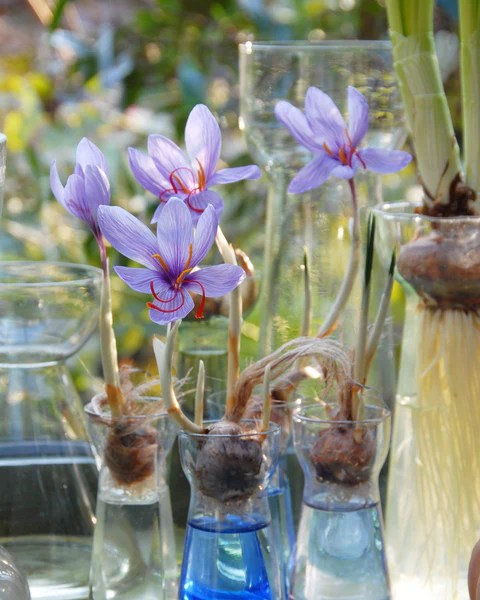 Crocus sativus Bulbs - Buy Saffron Crocus online at Farmer ...