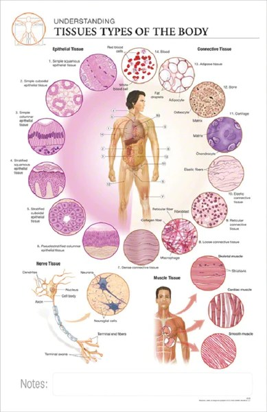 simple cell diagram worksheet sears dryer wiring 11x17 anatomy poster - understanding the different tissue types – online science mall