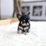 Sold To Ash Apple Chihuahua F Rolly Teacup Puppies