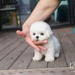 Winston Bichon Frise Rolly Pups Inc