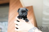 Ivy - Pug  Rolly Teacup Puppies