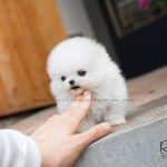 Snow White Pomeranian Rolly Teacup Puppies