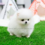 Brie Pomeranian Rolly Teacup Puppies