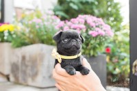 Fiona - Black Pug  Rolly Teacup Puppies