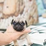Lola Pug F Rolly Pups Inc